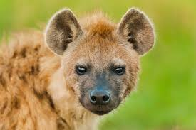 Image result for hyenas