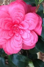 camellia onica flowers garden design ideas