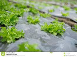 Salad Chart Green Oak Salad Lettuce Stock Image Image Of Chart 111946789