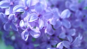 Purple Flowers Backgrounds Wallpapers Collection Purple Flowers Wallpapers