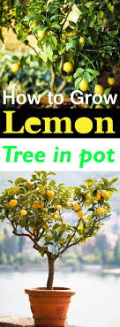 Best Grow Light For Citrus Tree How To Grow A Lemon Tree In Pot Care And Growing