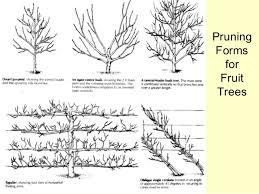 BBC  Gardening  Gardening Guides  Techniques  How To Prune Prune Fruit Tree