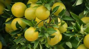 Fruit Trees That Grow In California Part  21 Current Obsessions Southern California Fruit Trees