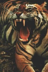 tiger roar tumblr. Delighful Tumblr Photo Intended Tiger Roar Tumblr