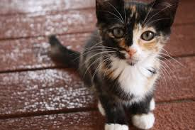Image result for kitten tortie