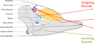Whale Classification Chart Dolphin Wikipedia