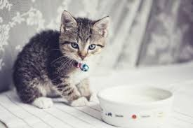 the image of kittens piling around a bowl of milk is widespread but really milk