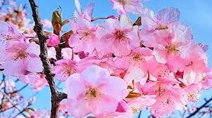 Bunga Sakura Kepo Soal Ciri Dan Fakta Menarik Bunga Sakura Mampir Sini
