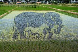 chinese rice field. Exellent Rice 3D Designs In Northeast Chinau0027s Paddy Fields Fascinate Visitors For Chinese Rice Field I