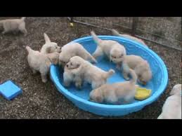 golden retriever puppies swimming. Unique Retriever 5 Week Old Golden Retriever Puppies Really Mad When Someone Doesnu0027t Fill  Their Pool On Golden Retriever Puppies Swimming N