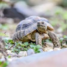 How Do Turtles Communicate? (Hint: Verbally & Nonverbally) - All Turtles