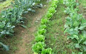 Αποτέλεσμα εικόνας για λαχανοκηπος φωτο