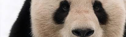 Giant Panda Population Chart Giant Panda Wwf