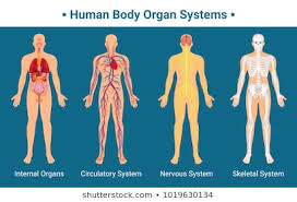 Internal Human Anatomy Chart Body Anatomy Chart Stock Illustrations Images Vectors