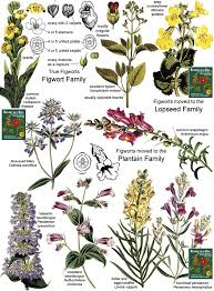 Flower Species Chart Scrophulariaceae Figwort Or Snapdragon Family Identify