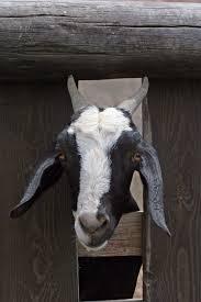 billy goat gruff array billy goat gruff u2018 haiku by dennis lange the bard on the hill rh