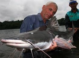 amazon river catfish. Simple Catfish Piraiba Inside Amazon River Catfish D