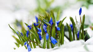 Spring Blue Flowers In Snow Macro Ultra ...