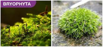 Plant Kingdom Classification And Characteristics