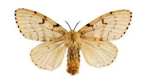 Asian gypsy moth story