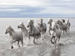 wild horses running through water. Brilliant Through A Band Of Wild Horses Running Through Shallow Water  For Wild Horses Running Through Water Reddit