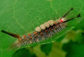 Caterpillar Identification Orgyia Detrita Bugguide Net