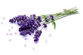 lavendar flower nature