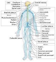 Flow Chart Of Nervous System In Human Beings Outline Of The Human Nervous System Wikipedia