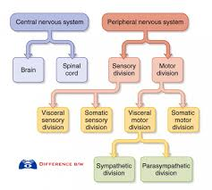 Central Nervous System Vs Peripheral Nervous System Venn Diagram Nervous Tissue Diagram Air American Samoa