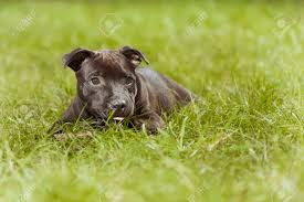 Staffordshire Bull Terrier Male Puppy ...