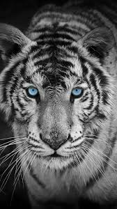 White Tiger Mobile Wallpapers ...