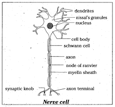 Is The Structure Of Neuron Suitable For Transmission Of