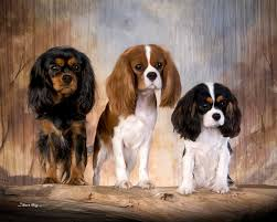 cavaliers dogs. Fine Cavaliers Intended Cavaliers Dogs