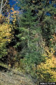 Species: Abies grandis