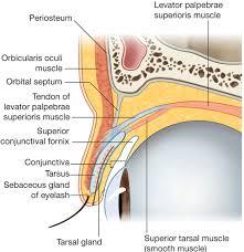 Eyelid Anatomy Layers Of The Eyelid Skin Subcutaneous Tissue Eyelashes In