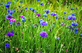 backyard flower garden. No Matter What You Call These Flowers: Bachelor\u0027s Buttons, Blue-bottles, Or Cornflowers, Delicately Fragrant And Cheerful Flowers Looking Like Backyard Flower Garden