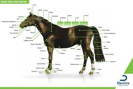 Enlargement Of The Equine Whole Body Anatomy Chart I Use To