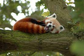 animals, Red Panda Wallpapers HD ...