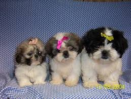 Shih Tzu Growth Chart Dogs Breeds And Everything About