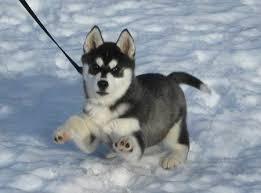 baby husky in snow. Modren Husky Husky Puppy  Puppies Baby Huskies Snow Wolves Animals Intended Baby In Snow S