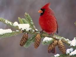 winter cardinal wallpaper. Beautiful Winter Winter Cardinal Red Bird Best Desktop Wide Wallpaper On Cardinal Wallpaper 7