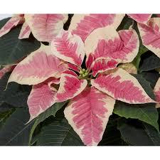 Mini Weihnachtsstern Marble Weiß Rosa Topf ø Ca 6 Cm Euphorbia Pulcherrima