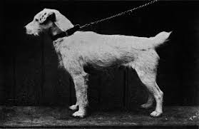 Image result for history of the jack russell terrier
