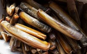 Clam Identification Chart Frequently Asked Questions The Atlantic Razor Clam Pangea
