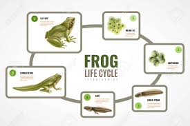 Frog Life Cycle Realistic Infographic Chart From Eggs Mass Embryo