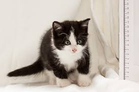 Kitten 8 weken eten