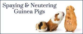 spaying or neutering your guinea pig