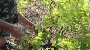 Farmer Pruning Grapes Plant Farm