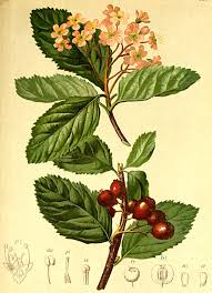 Jarząb nieszpułkowy – Wikipedia, wolna encyklopedia