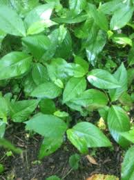 grows with other ground plants in the understory such as ground ivy the vinca vine produces a purple trumpet like flower vinca kills trees by smothering